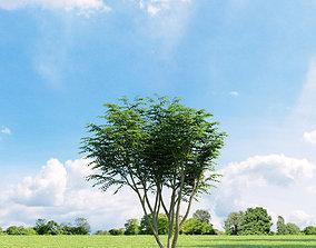 Caragana arborescens 009 v3 AM136 3D