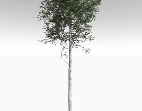 Tall Mature Quaking Aspen - Variation 1 3D