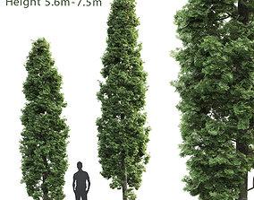 Thuja high 01 3D model