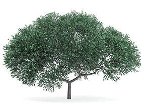 3D model English Oak Quercus robur 10m