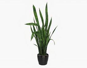Snake plant Dracaena trifasciata 02 3D model