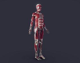 3D asset Muscleoskeletal with Nerves Vessels