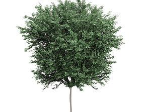 3D Field maple