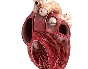 3D Human heart sector