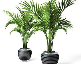 3D Palm Howea 3