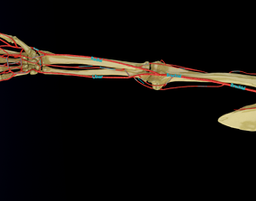 Upper limb arteries axilla arm forearm 3D