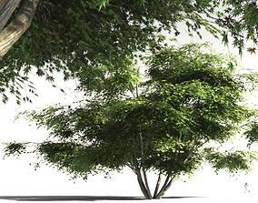 EVERYPlant Japanese Maple 10 -- 11 Models 3D bonsai