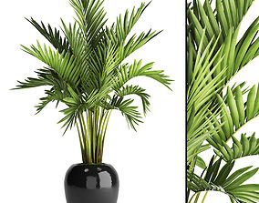 Howea Forsteriana Palm 2 3D