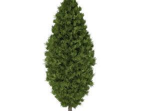 White Cedar Thuja occidentalis 3m 3D model