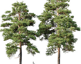 3D model Pinus sylvestris Nr13 H12- 14m Two tree set