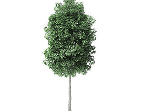 Boxelder Maple Tree 3D Model 5m