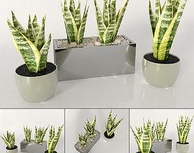 Indoor plants - Sansevieria 3D