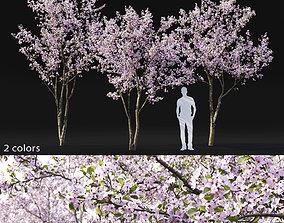 Cherry-tree Flowering 03 3D