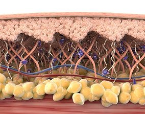 Skin Cross Section Healthy 3D