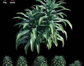 3D model Dracaena Corn Plant set 02