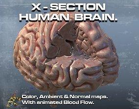 3D Cross Section Human Brain Lobes