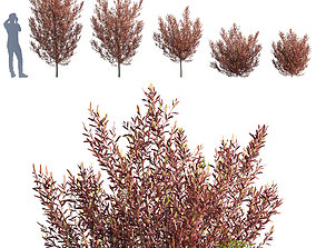 Dodonaea viscosa - Purple Hop Bush 3D model