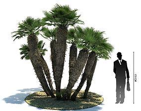 3D model Exotic Palm Tree Chamaerops Humilis