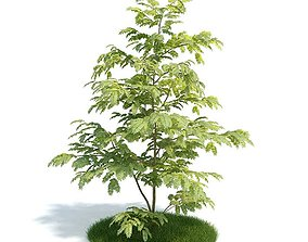 Leafed Plant Albizzia 3D model