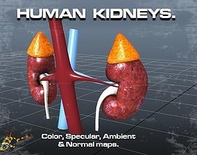 Human Kidneys 3D asset