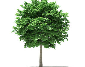 Norway Maple Acer platanoides 5m 3D