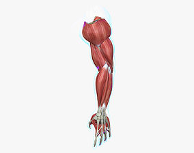 Muscles of the Arm Medical Edition 3D