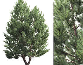 3D model Pinus Sylvestris 01