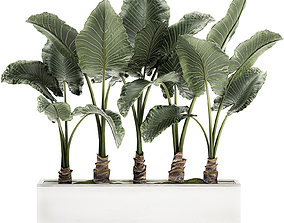 Alocasia in a white flowerpot for decor and interior 3D 1