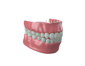 molar Gums and Teeth 3D model