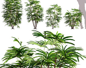 3D model Rhapis Excelsa - Bamboo Palm 01