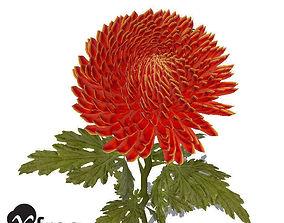 XfrogPlants Pompon Chrysanthemum 3D model