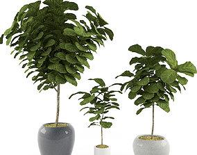 maturation 3D Ficus Lyrata