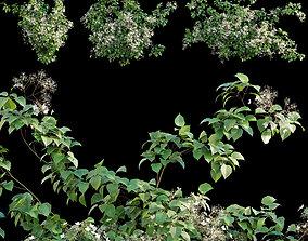 Hydrangea anomala petiolaris - Climbing 3D model 1
