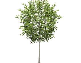 3D European Rowan Sorbus aucuparia 13m