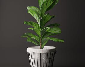 Ficus lyrata 2 3D model
