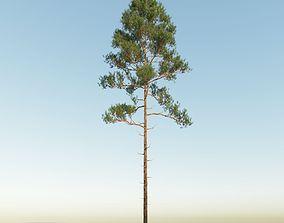 Scot pine 15m tall Pinus sylvestris 3D