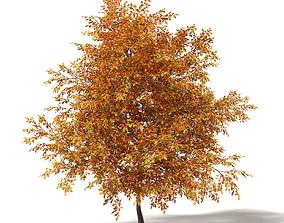 Common Oak 3D Model 6m