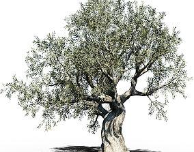 3D Olive Tree Europa Olea variation 3