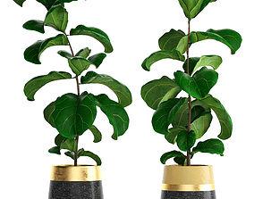 3D fig Ficus Lyrata Trees