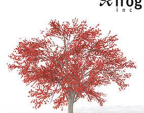 XfrogPlants Autumn Serviceberry 3D