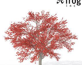 XfrogPlants Autumn Serviceberry 3D model