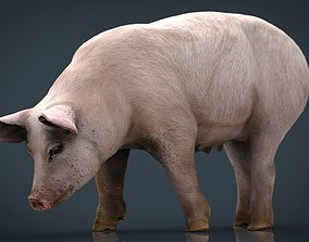Realistic Sow 3D model