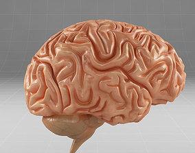 Anatomy brain cerebellum 3D model