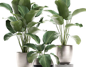 Calathea lutea in a pot for the interior 3D model