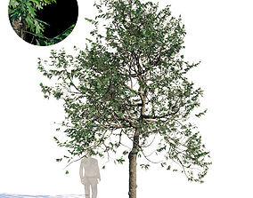 Northern Red Oak Var3 3D model