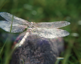 3D animated dragonfly