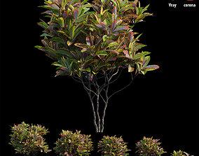 Croton plant set 14 3D