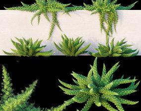 3D model Asparagus densiflorus Sprenger asparagus