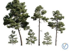 3D model Pinus Brutia -Turkish Pines bundle -