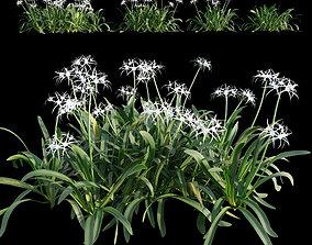 Hymenocallis americana -Spider lily 3D